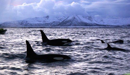 Sea Safari Andenes
