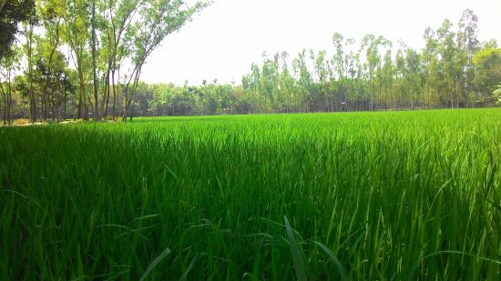 evergreen paddy field of Beautiful Bangladesh - Picture of
