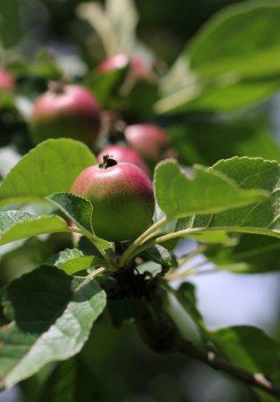 Westbury on Severn, UK: Orchard