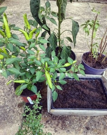 2 chilli plants I bought, flourishing at home - Picture of Edible