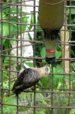 Grafton Caledonia Wildlife Sanctuary : Bird hanging upside down to get nectar