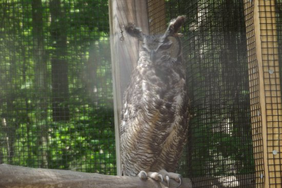 Killingworth, CT: Great Horned but permanently injured and cared for