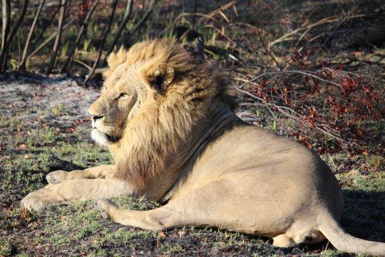 Pom Pom Camp: Lion can also be seen at Pom Pom