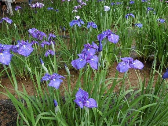 Motsuji: 毛越寺の菖蒲園。とにかく広いお庭の中でたくさんの菖蒲が咲き誇ってました。