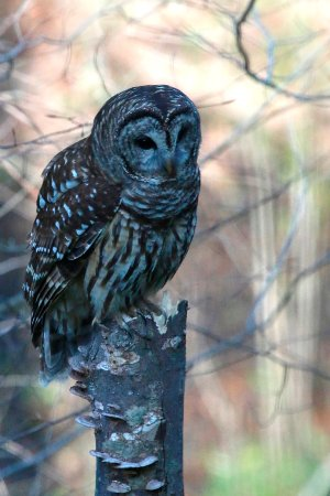 Surry, Βιρτζίνια: Barred Owl at Chippokes campground