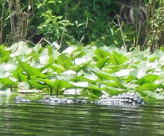 Hump back gator on St Johns River near Deland