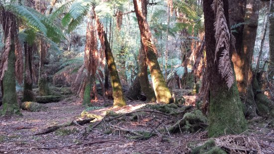 Maydena, Australia: Large tree ferns
