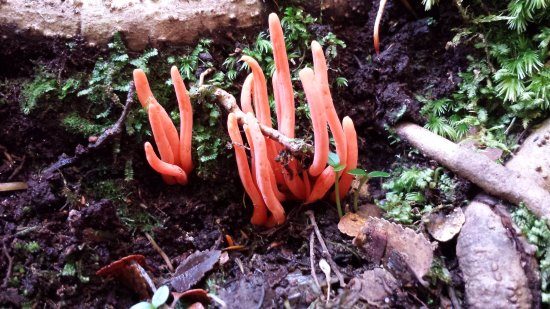 Maydena, Australien: Some lovely coral fungi on the track to the Styx River.
