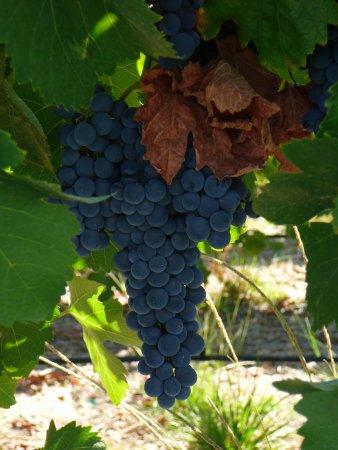 Ski Sunset Ranch: The surrounding vineyard