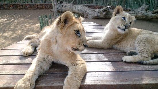 Ukutula Lion Park: So adorable. God's creations