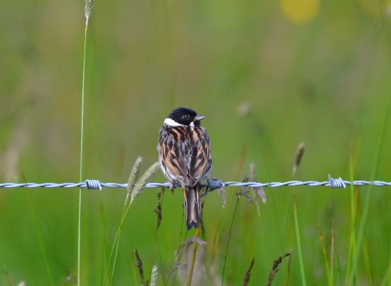 Brampton, UK: Reed Bunting