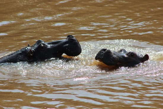 Sanctuary Olonana: Hippos playing at breakfast time