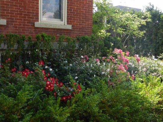 George Carroll House: side yard with lovely roses