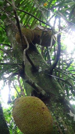 Sandat Bali: Jackfruitbaum auf dem Gelände