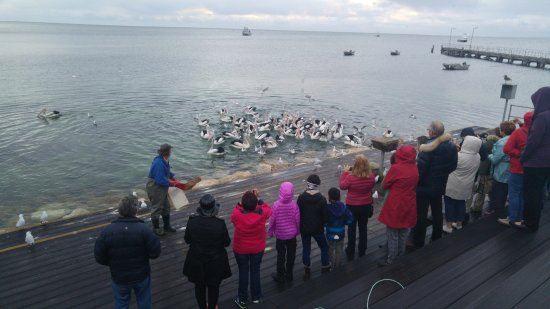 Kingscote, Australien: All waiting to feed the pelicans but the guy just tosses the box of fish into the sea instead.