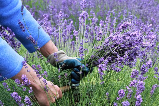 Redmond, Waszyngton: Employee picked up lavenders to sell at the shop