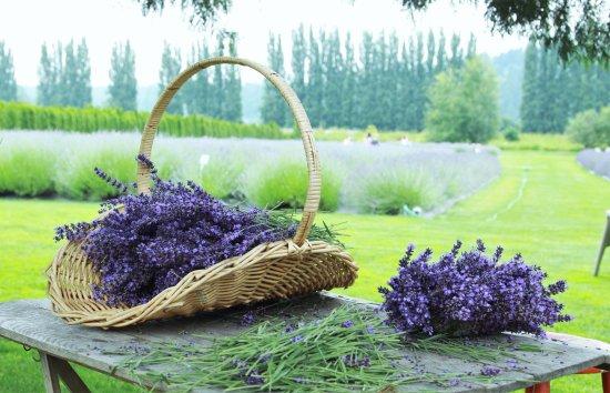 Redmond, Waszyngton: Lavender Farm in June 2016