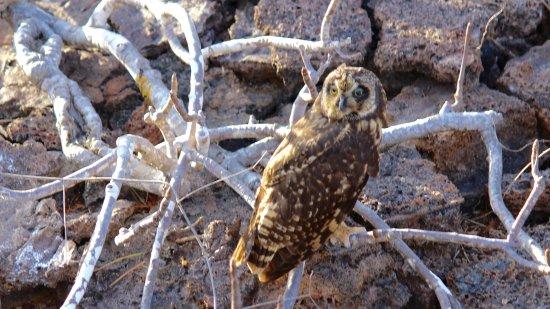 Genovesa, Ekvador: Galapagos Owl.