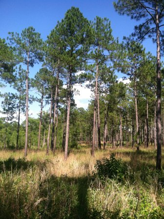 Gautier, MS: Wet Pine Savanna 1 year after fire management