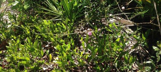 Allen David Broussard Catfish Creek Preserve State Park: Prickly brier, Mimosa quadrivalvis