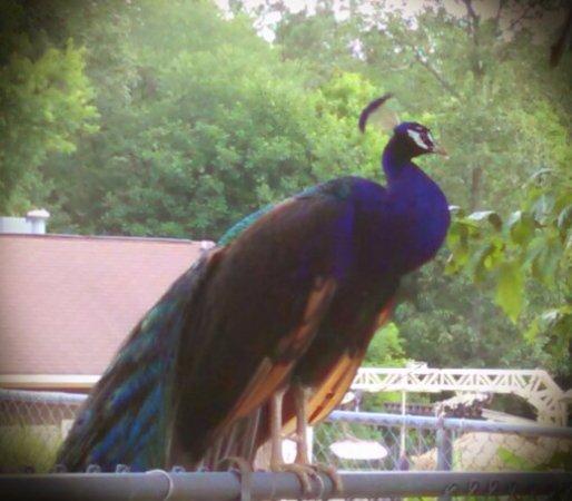 Moseley, VA: Peacock