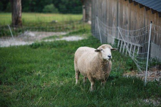 Rupert, VT: A lone sheep grazing near the sap house.