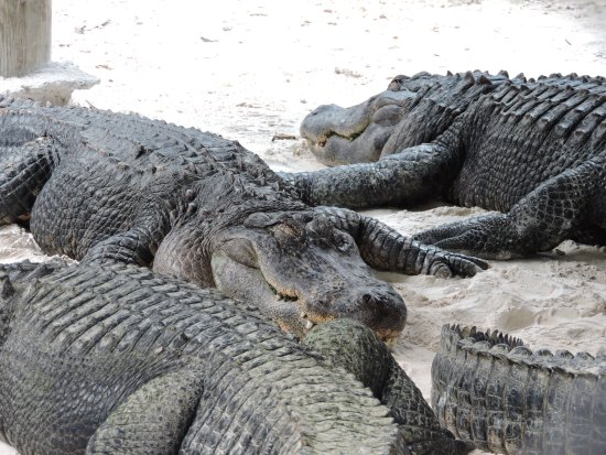 Gray Line Miami Tours: alligators