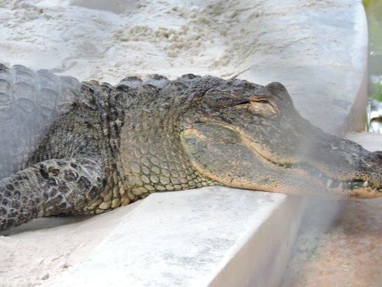 Gray Line Miami Tours: alligator