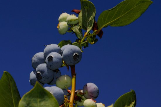 Grandview, WA: Blueberries at Bills Berry Farm