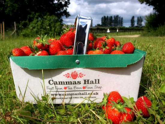 Bishops Stortford, UK: Strawberries at Cammas Hall Fruit Farm