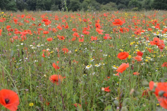 St Austell, UK: Field of poppies remembering The Battle of the Somme