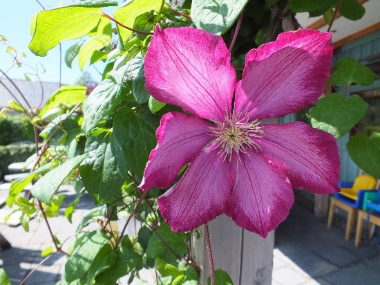 Tayvallich Coffee Shop : Clematis climbing the roof supposrt.