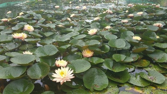 Minamiechizen-cho, Japan: 花はすまつり 睡蓮 7/31まで開催中