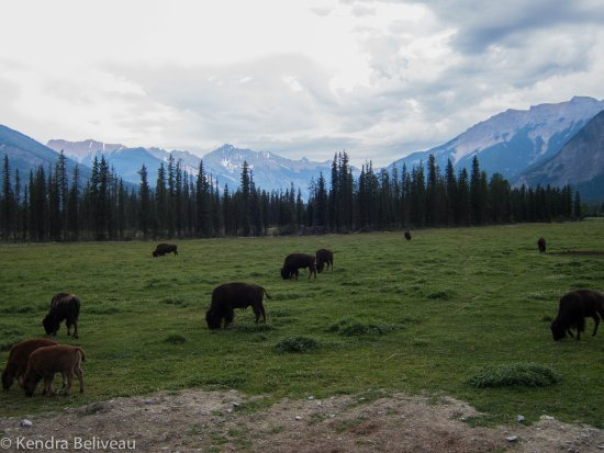 Goleen, Canadá: A picture of some of the herd.