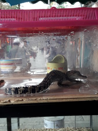 Flowers and Birds Market of Kunming: Baby crocodile on display for sale