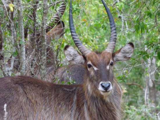 Ndlovu Camp: Waterbuck