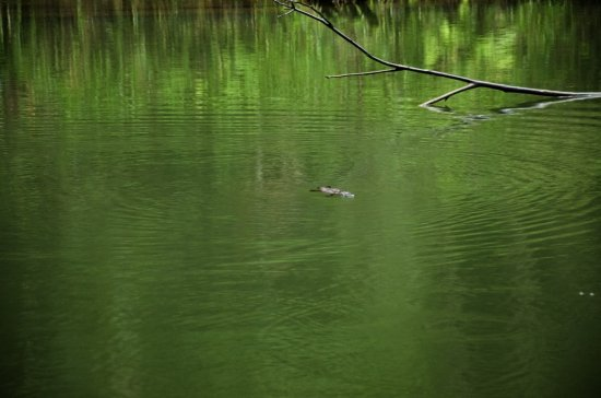Eungella, Australia: 1 Platypus we saw for about half and hour, going down to feed and poping back up.