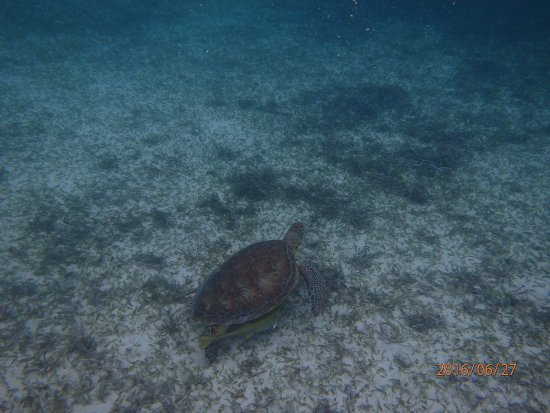 Caye Caulker, Belize: Saw a couple of turtles during our snorkel tour at Hol Chan.