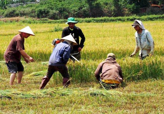 Pleiku, Vietnam : mùa gặt