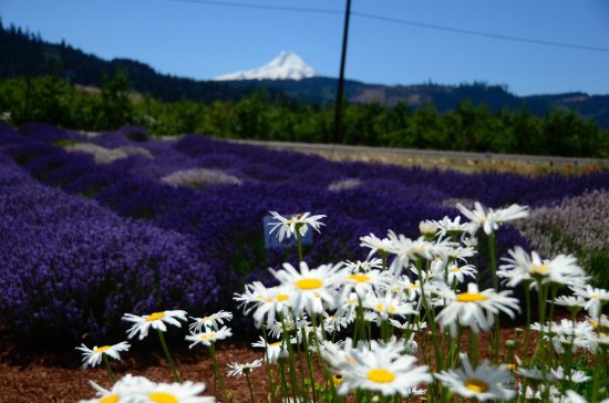 Hood River, OR: The mountain in the backdrop was stunning.