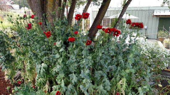 Sequim, WA: Pretty poppies in the garden!