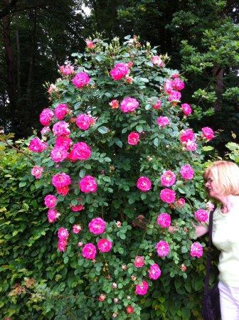 Ruisbroek, เบลเยียม: Roses japonaises