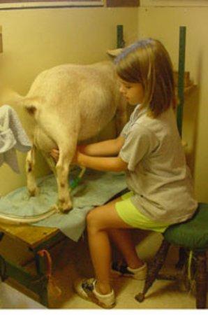 Cornerstone Farm: Milking goats
