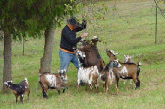 Red Oak, VA: Guest spoiling our friendly goats