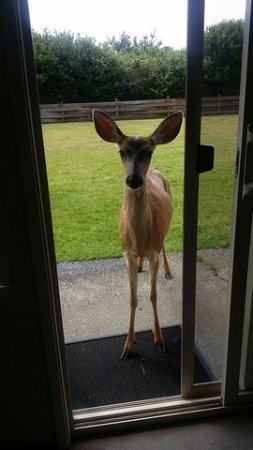Ocean Shores, WA: We had a visitor at the patio door.