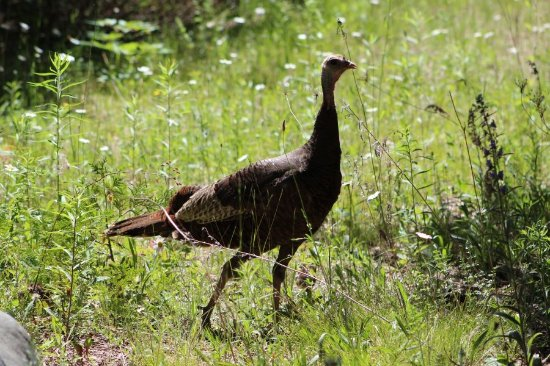 Inverhuron Provincial Park: Turkey near the beach road