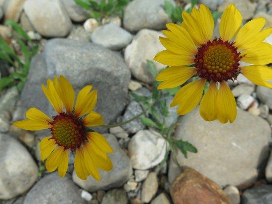 Kimberley Riverside Campground: Lots of Wild Flowers !