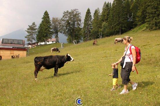 Piccola Baita: Appena fuori dall'hotel si possono incontrare le mucche al pascolo