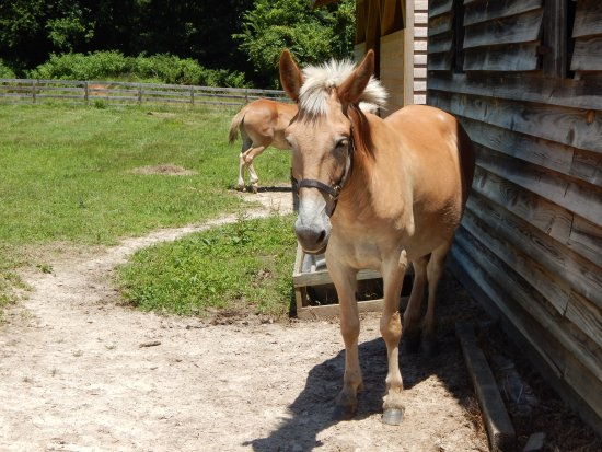 Meadow Farm Museum: resident mules