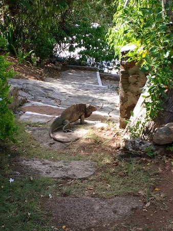 Guana Island: One of the local iguanas